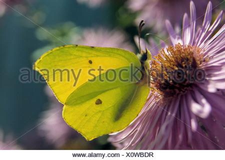Brimstone (Gonepteryx rhamni). Butterfly on a flower - Stock Photo