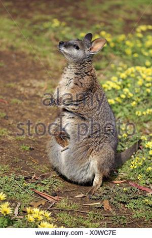 Tammar Wallaby (Macropus eugenii) adult, Kangaroo Island, South Australia, Australia - Stock Photo