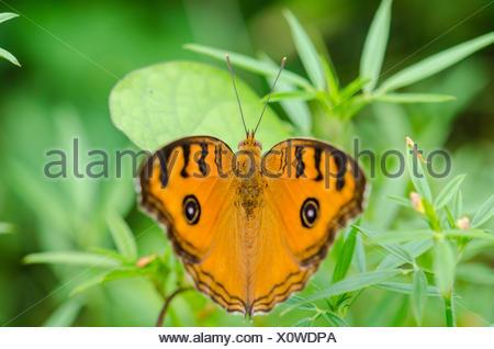 Peacock pansy butterfly (Junonia almana) on top of a bush - Stock Photo