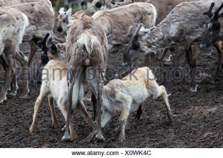 Semi-domesticated reindeer, Rangifer tarandus, running inside an enclosure during calf-marking. - Stock Photo
