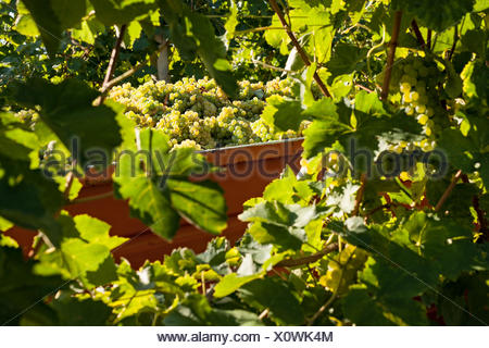 White grape bunches loaded on truck - Stock Photo