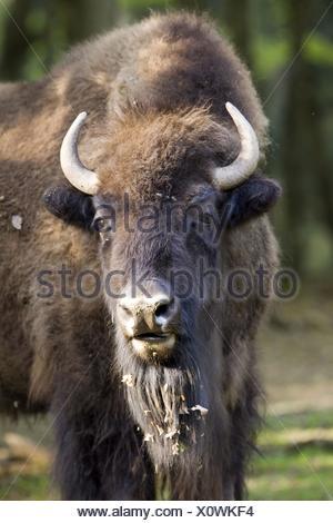 American bison portrait - Stock Photo