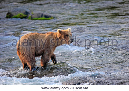 Grizzly Bear adult on rock in water in summer Brookes River Katmai Nationalpark Alaska USA North America / (Ursus arctos - Stock Photo