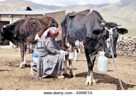 Dairy cow farming, woman milking cow, Altiplano Bolivian highland, Oruro Department, Bolivia, South America - Stock Photo