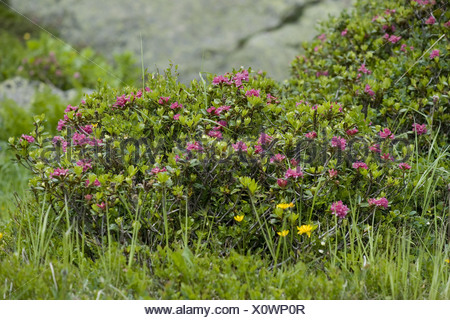 rusty-leaved alpenrose, rhododendron ferrugineum - Stock Photo