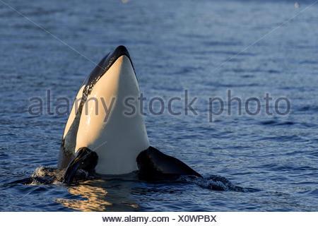 Orca or killer whale (Orcinus orca), spyhopping, Kaldfjorden, Norway - Stock Photo