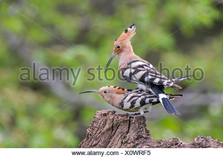 Hoopoe (Upupa epops) pair mating, Tuscany, Italy - Stock Photo