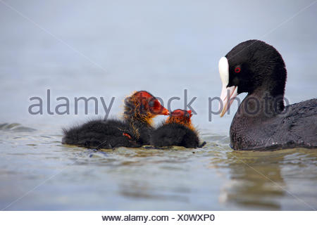 black coot (Fulica atra), adult bird with two chicks on the water, Germany - Stock Photo