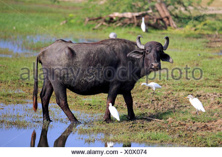 Water buffalo (Bubalis bubalis), adult in shallow water with cattle egrets (Bubulcus ibis), Bundala National Park, Sri Lanka - Stock Photo