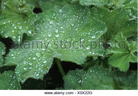 lady's-mantle (Alchemilla xanthochlora), water drops on a leaf - Stock Photo