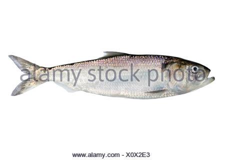 Adult twait shad isolated on white - Stock Photo