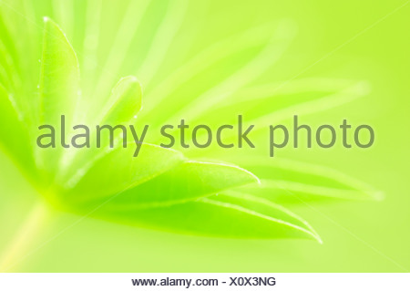 Large-leaved lupine, Big-leaved lupine (Lupinus polyphyllus), leaves, North Rhine-Westphalia, Germany, Europe - Stock Photo