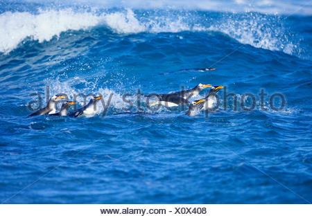 Gentoo Penguins (Pygoscelis papua papua), colony swimming together, Falkland Islands,South Atlantic - Stock Photo