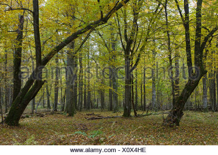 Old bent hornbeam trees in autumnal landscape of primeval deciduous stand of Bialowieza Forest - Stock Photo