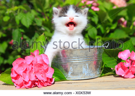 3 weeks, flower, flowers, garden, house, home, Animal, domestic animal, pet, young, cat, jug, kitten, tiredness, tiger, Tigerli, - Stock Photo