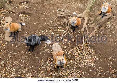 Many red fox looking for food - Stock Photo