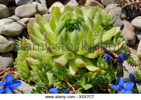 Echeveria (Echeveria minima), succulent plant with hairy leaves, in a rock garden - Stock Photo