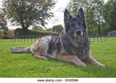 german shepherd cross - Stock Photo