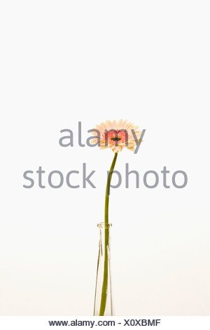 Gerbera daisy flower in vase - Stock Photo
