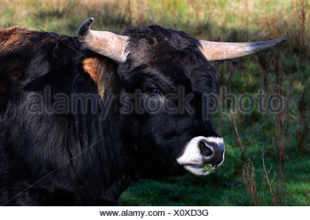 Heck cattle - heck cattles - bull with typical white mouth (Bos primigenius f. taurus) - Stock Photo