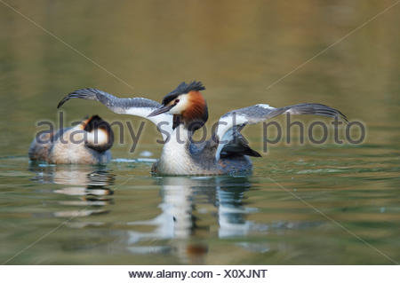 Great Crested Grebe (Podiceps cristatus), shaking its wings, Lake Lucerne, Canton of Lucerne, Switzerland - Stock Photo