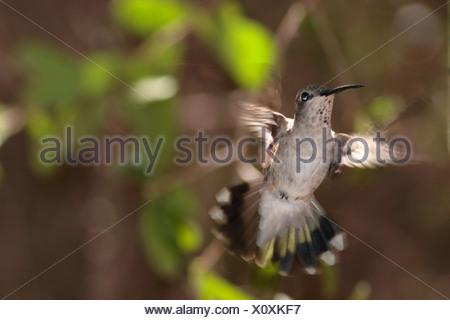 Ruby-throated hummingbird (Archilochus colubris), female hovering, USA, Arizona - Stock Photo