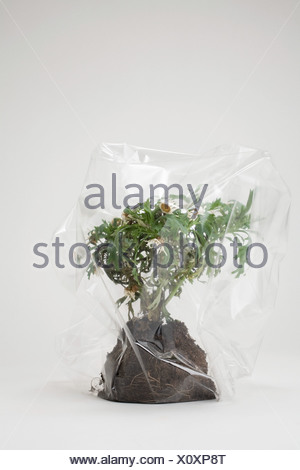 Daisies in a plastic bag - Stock Photo