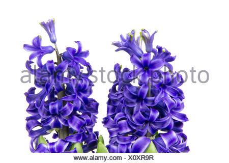 Blühende blaue Hyazinthen im Frühling - Stock Photo