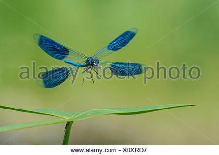 banded blackwings, banded agrion, banded demoiselle (Calopteryx splendens, Agrion splendens), landing on a leaf, Germany, Lower Saxony - Stock Photo