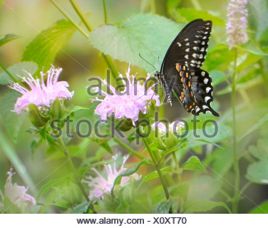 Black swallowtail butterfly Papilio polyxenes on wild bergamot bee balm, Monarda fistulsa flower - Stock Photo