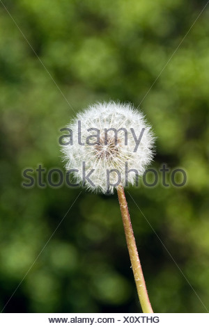 Berlin, Germany, dandelion - Stock Photo