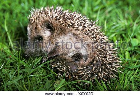 European Hedgehog, erinaceus europaeus, Adult on Grass - Stock Photo