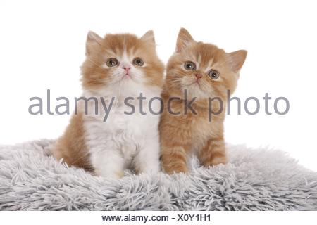 British Shorthair and Highlander Kitten - Stock Photo