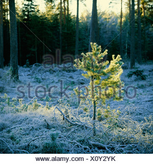 View of coniferous forest covered with snow - Stock Photo