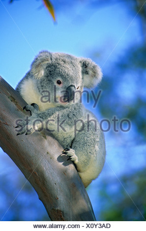 Juvenile koala (Phascolarctos cinereus).  Brisbane, Australia - Stock Photo
