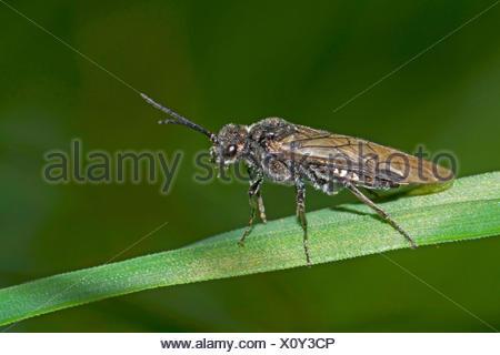 Sawfly (Dolerus spec.), sitting on a blade of grass, Germany - Stock Photo