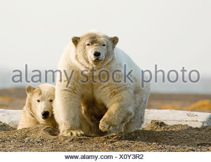 Female Polar Bear Defending Yearling Cub On Barrier Island Near Kaktovik, Alaska - Stock Photo