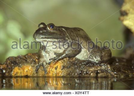North American Bullfrog - Rana catesbeiana - Stock Photo