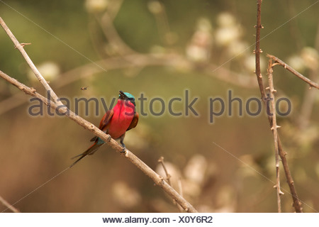 Southern Carmine Bee-eater - Merops nubicoides, Mana Pools National Park, Zimbabwe, Africa - Stock Photo