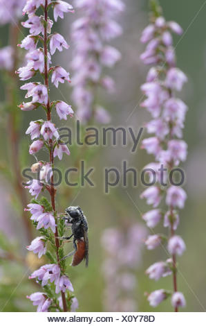 Bee (Sphecodes albilabris), male - Stock Photo