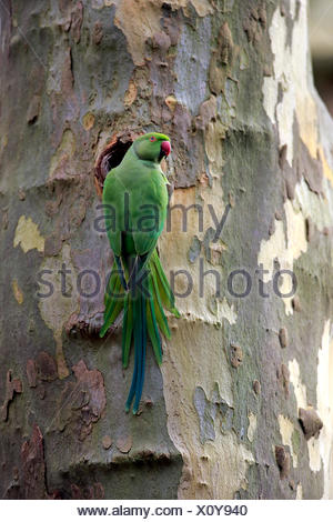 Ring-Necked Parakeet, adult at nesting hole, Mannheim, Germany, Europe / (Psittacula krameri) - Stock Photo