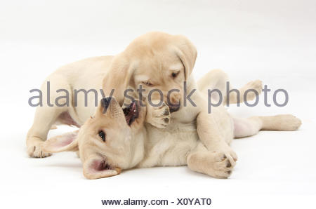 Yellow Labrador Retriever puppies, 9 weeks, play-fighting. - Stock Photo