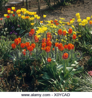 tulips in the garden - Stock Photo