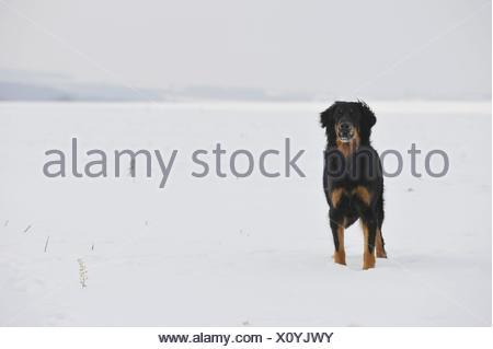 Hovawart - Stock Photo