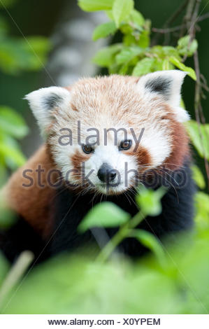 Red Panda, Ailurus fulgens, Captive, China, lesser panda and red cat-bear, is a small arboreal mammal native to the eastern Himalayas and southwestern - Stock Photo