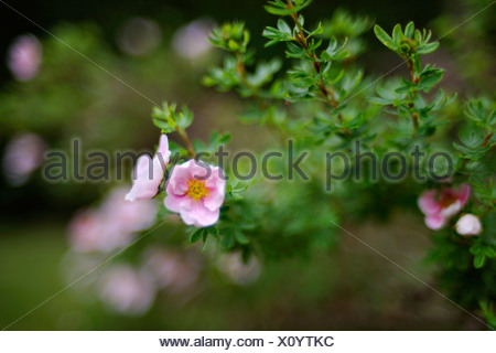 Close-up of bright pink potentilla Potentilla Fruticosa 'Princess' with shallow depth of field and interesting bokeh. - Stock Photo