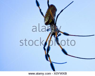 golden silk orb-weaver spider - Stock Photo