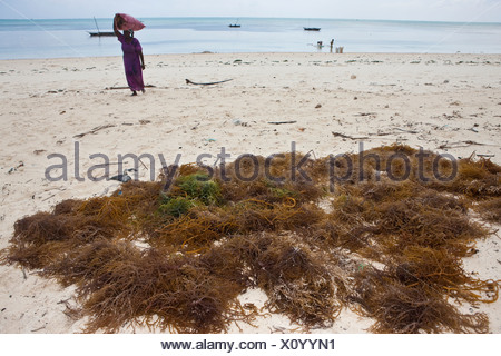 Woman carrying freshly harvested seaweed in a sack on her head, Jambiani, Zanzibar, Tanzania, Africa - Stock Photo