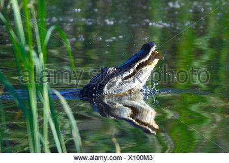 An American alligators, Alligator mississippiensis, on the water's surface. - Stock Photo