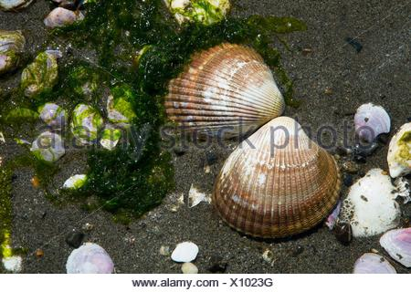 Clam shells, Foulweather Bluff Preserve, Washington. - Stock Photo